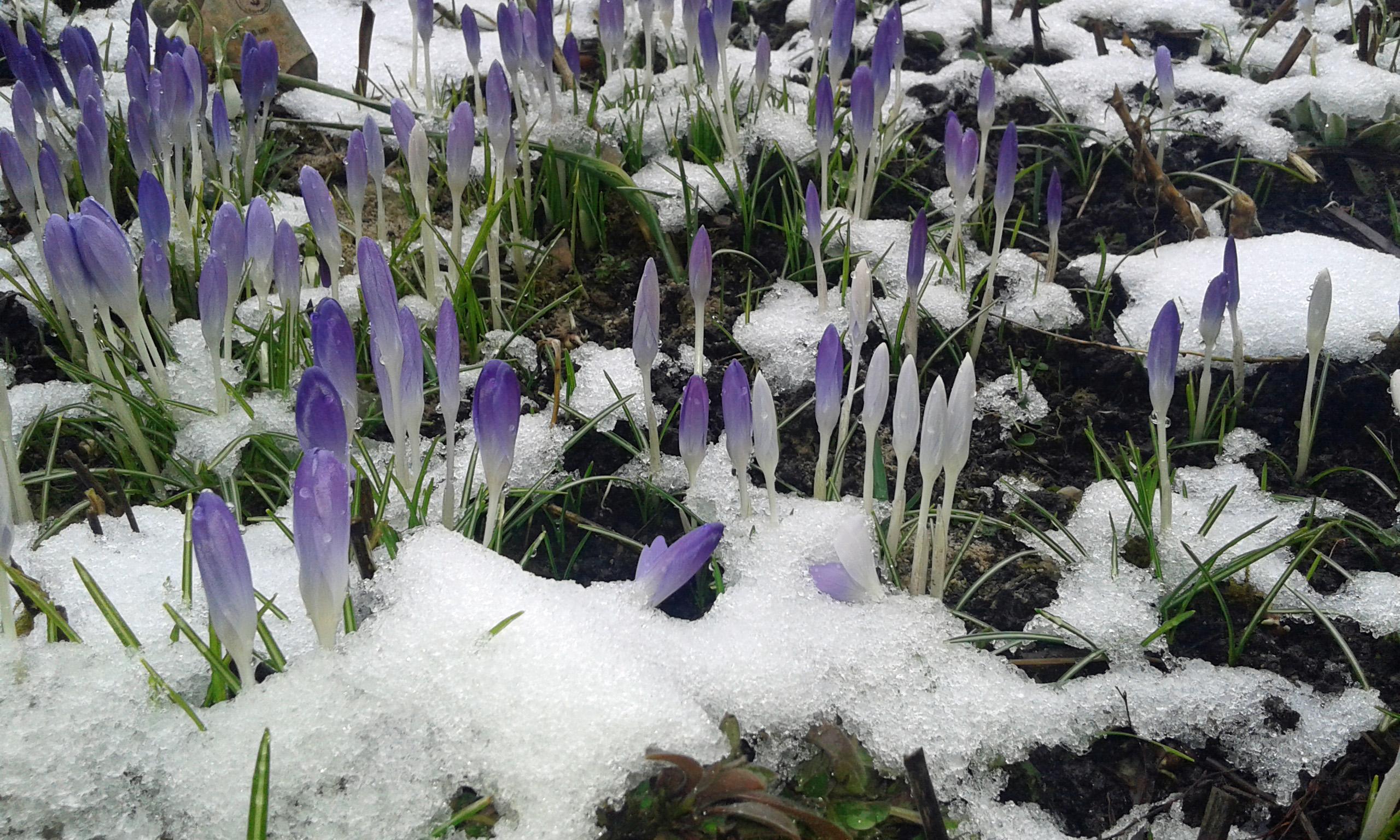 Krokusse im Schnee - difference
