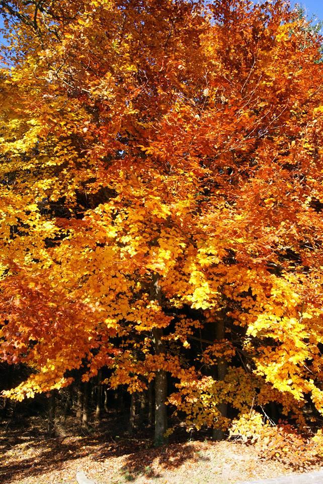 Buche im Herbst.