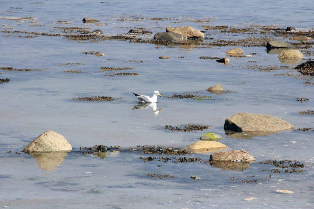 Sillon de Talbert - Silbermöwe im Wasser