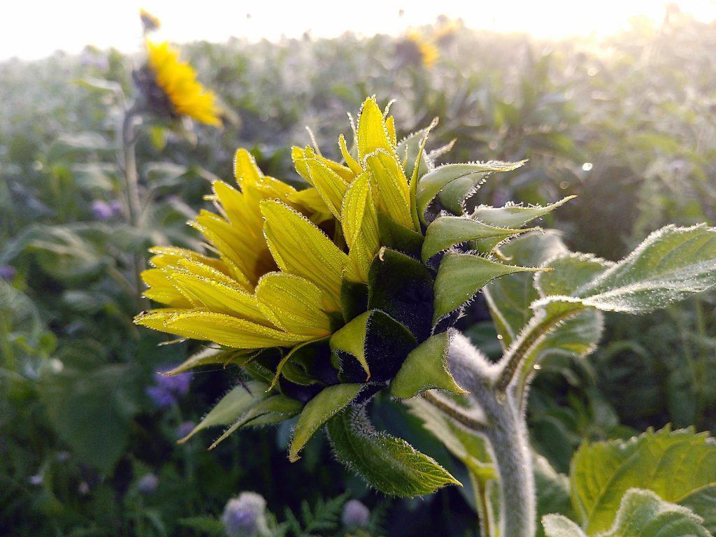 Novemberglück - Sonnenblumen