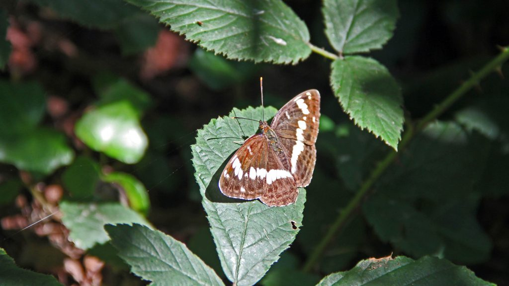 Ein Kleiner Eisvogel, Schmetterling