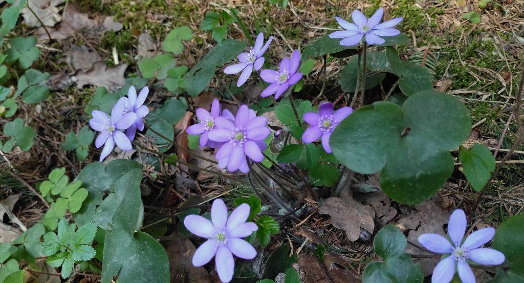Auf dem Jakobsweg - Leberblümchen