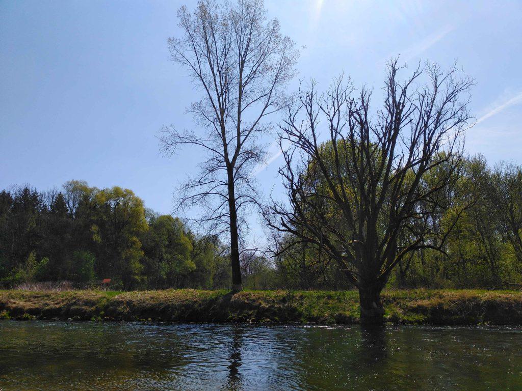 Bäume am Flussufer, angenagt vom Biber