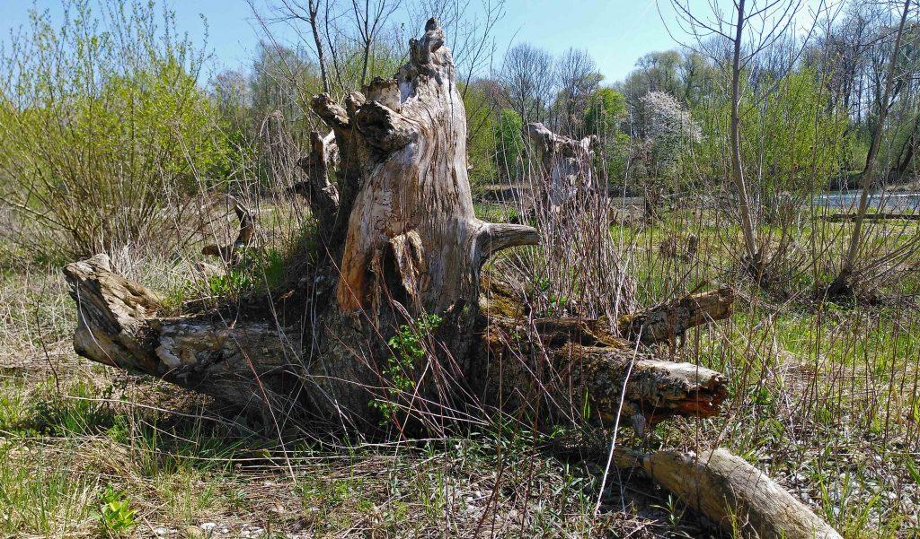 Baumstumpf un neue Triebe