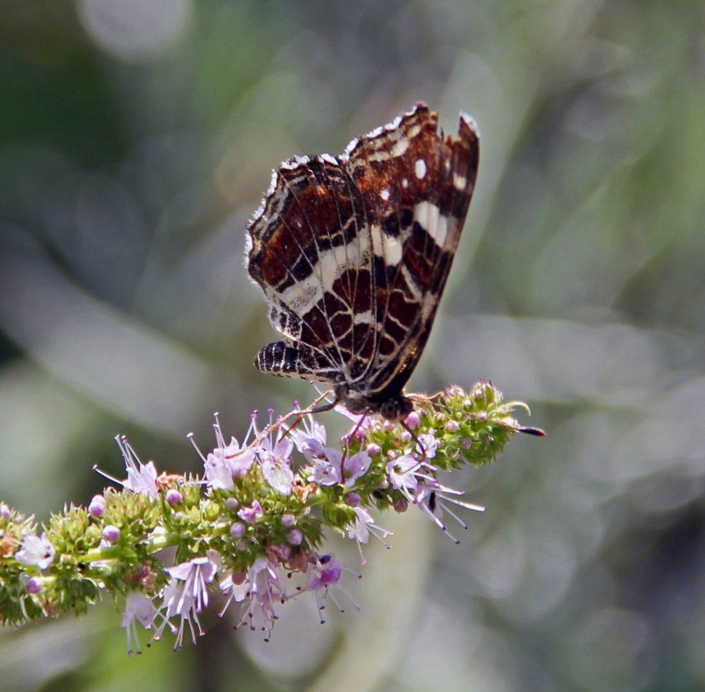 Artenvielfalt ist cool. Aber man muss auch die Arten kennen. Was ist das für ein Schmetterling?