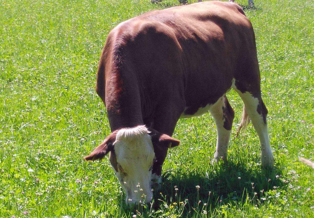 Kuh, die immer noch grast