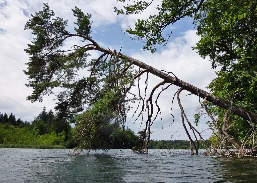 Eine Kiefer hängt im Wasser - Langbürgner See