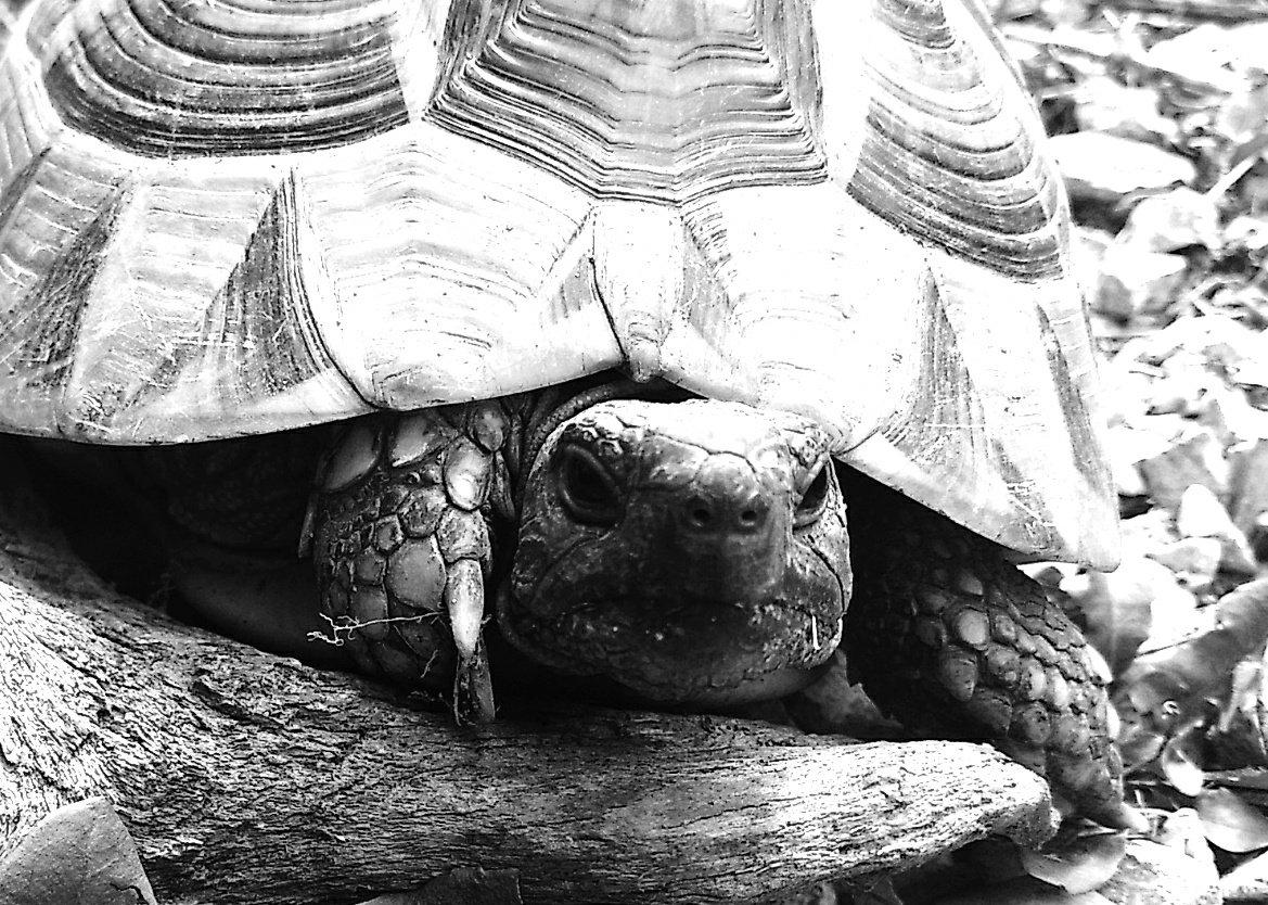 10 Tage Schwarz weiß - Eine meiner Schildkröten