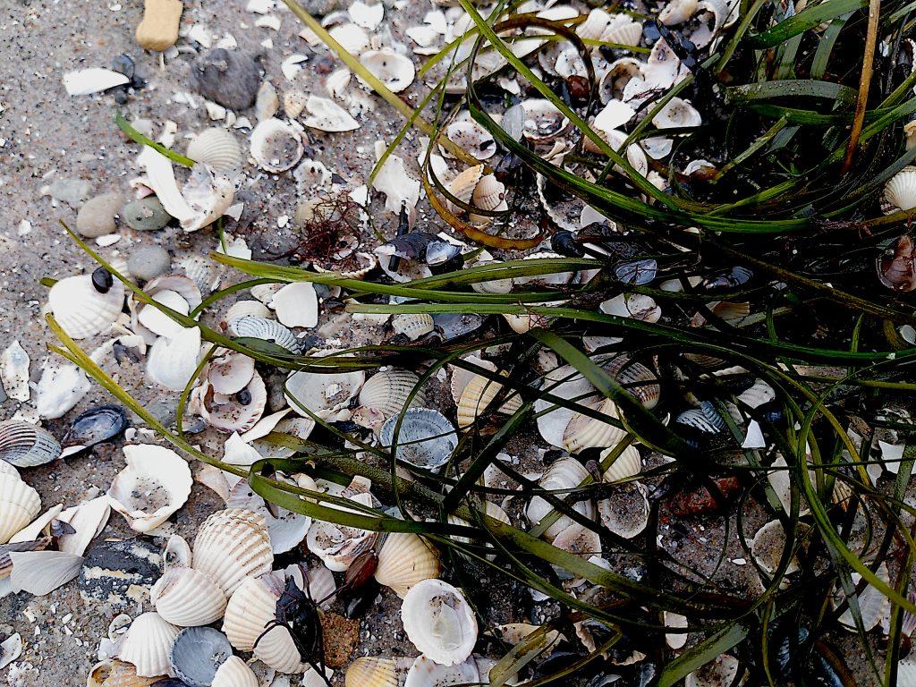 Muschelbruch am Strand