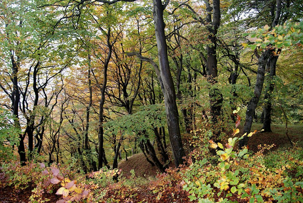 Rotbuchen im Nationalpark Jasmund