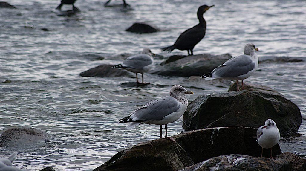 Vögel am Strand: Kormorane, Möwen, Seeschwalben