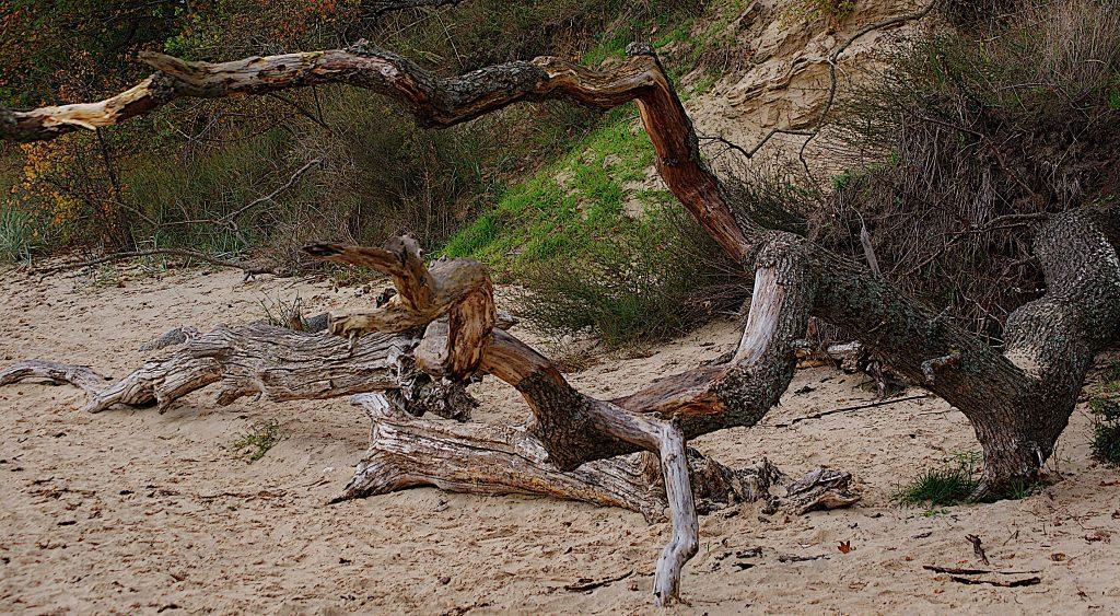 Totholz am Strand - eine Baumleiche