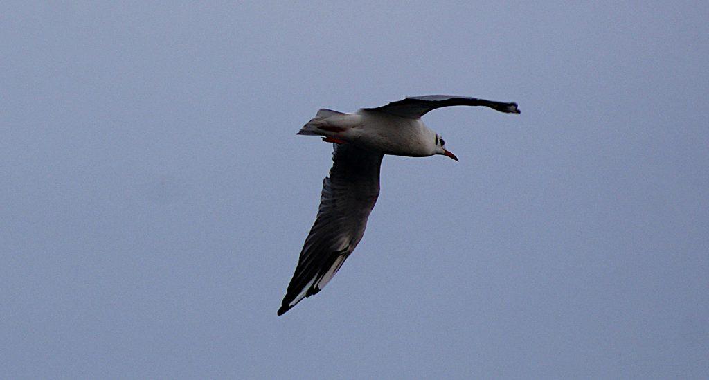 Flugbild Seeschwalbe