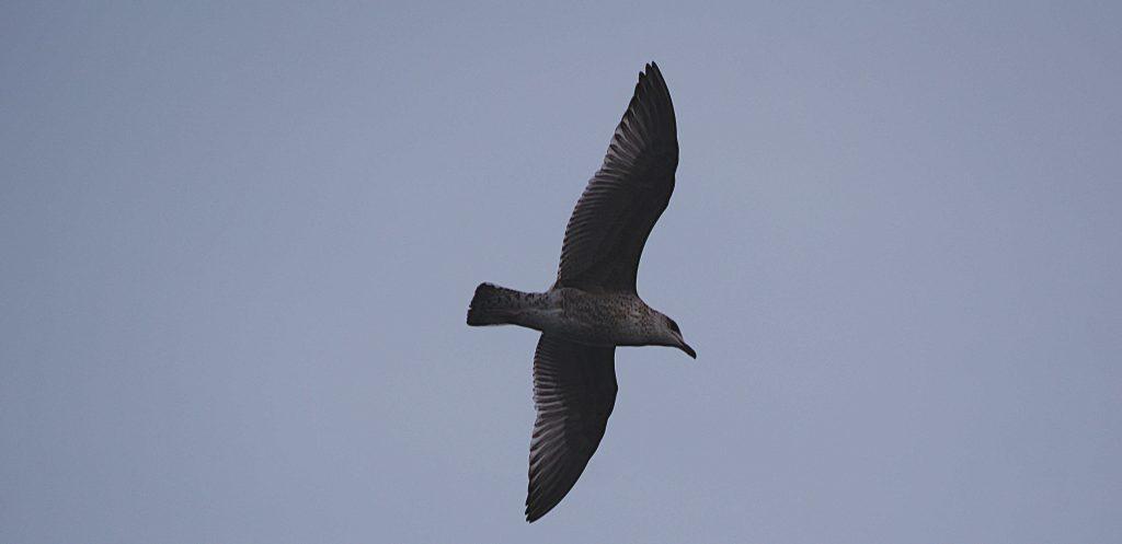 Flugbild junge Möwe. Laute Vögel