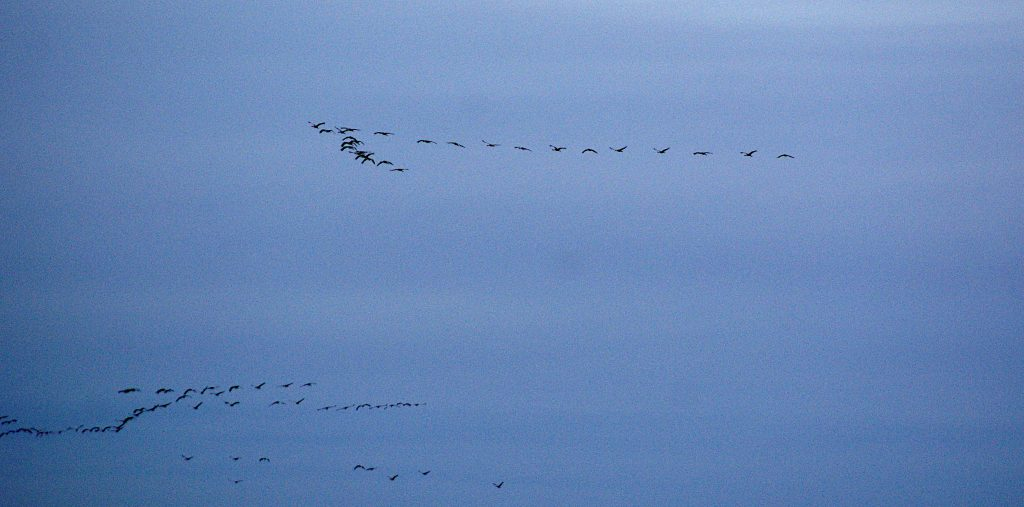Krnaiche am Himmel - Hunderte von Vögeln
