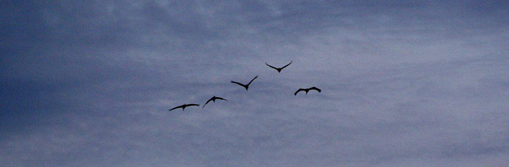Fünf Kraniche - imposante Vögel