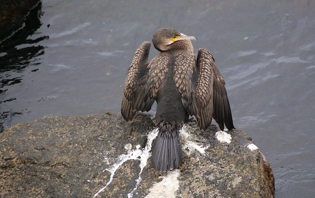 Kormoran bei Seellin - doch keine schwarzen, sondern braune Vögel