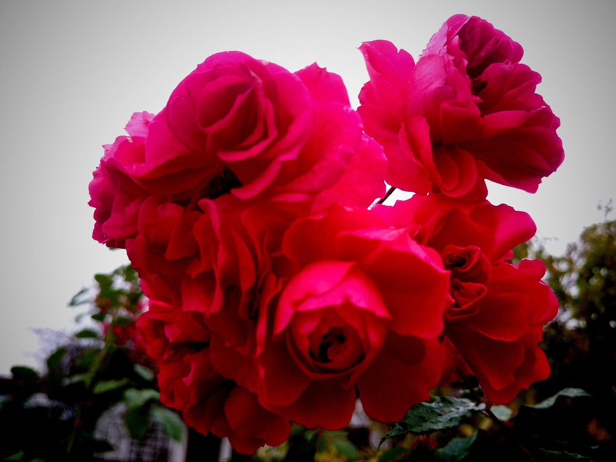 Gartenrosen im Advent
