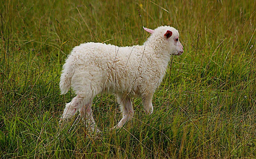 Lamm am Ostrand der Heide