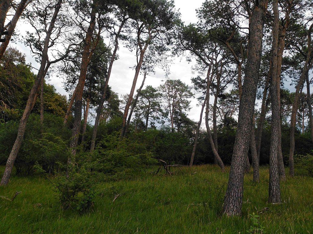 Kiefern im Mallertshofer Holz