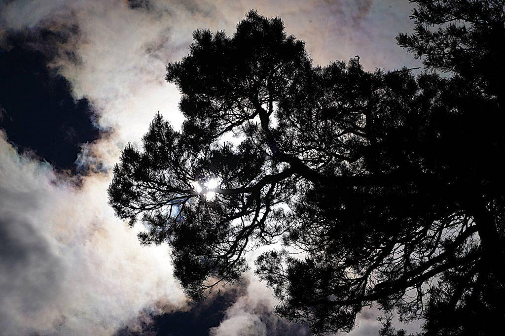 Kiefern im Berglwald